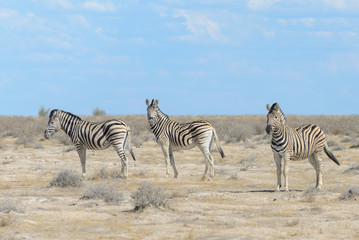 Wild zebras in in african national park