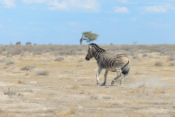 Wild zebra in in africa national park
