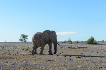 Wild elephant in the African savanna