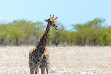 Giraffe in the African savanna