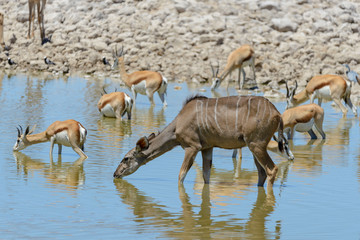 Kudu antelopes in the African savanna