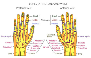Vector illustration of a human hand with denominations of palm and wrist bones . Anatomy of dorsal (posterior) and palmar (anterior) views of  the hand. For advertising or medical publications