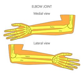 Vector illustration of a human elbow joint anatomy. Medial and lateral view of the bones of the arm. For advertising, medical publications