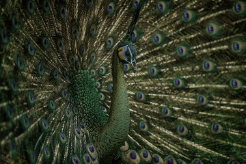 Photo sur Toile Paon Green Peafowl, Peacock