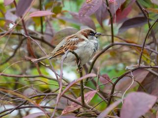 New York Sparrow