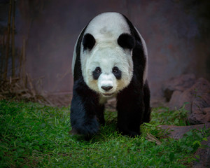panda stands in the natural atmosphere of the forest.