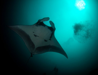 Manta Ray underwater. Scuba dive with Oceanic Mantas