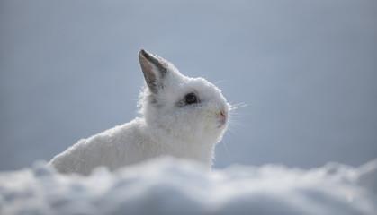 white rabbits in the snow,bunny in winter,white hare