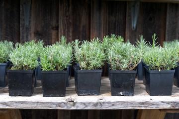 Foto op Canvas Kruiderij Small lavender seedlings