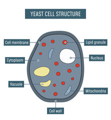 Yeast Cell Structure