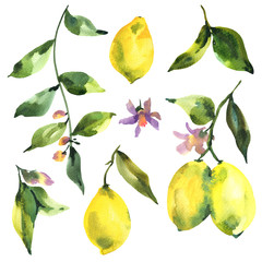 Watercolor set of branch fresh citrus fruit lemon, green leaves and flowers