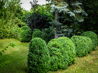 Beautiful landscaped garden with evergreens. Picea pungens above many boxwood Buxus sempervirens. Selective focus.