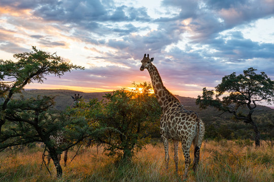 A giraffe standing in beautiful african surroundings while sunrise.