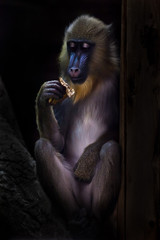 A beautiful madrill monkey with a blue muzzle and golden hair eats modestly in the dark
