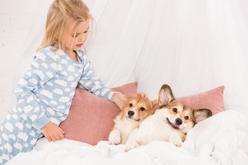 adorable child looking at pembroke welsh corgi dogs lying in bed at home