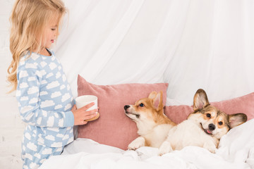 child holding cup and looking at pembroke welsh corgi dogs lying in bed at home