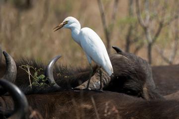 Héron garde boeufs, buffle d'Afrique, Bubulcus ibis, Western Cattle Egret