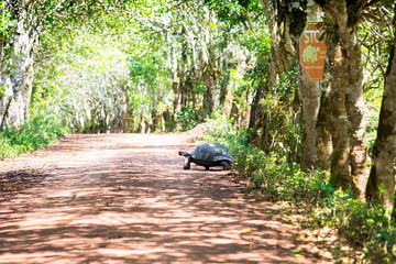 Turtle crossing the road at the Galapagos Islands