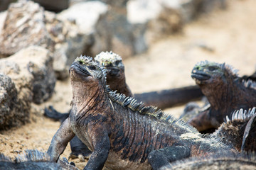 Marine Iguanas heating up in the sun at the Galapagos Islands