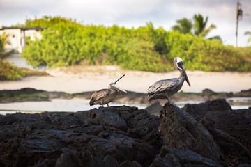 Pelicans sitting at vulanic rocks at the Galapagos Islands