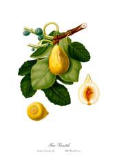 Vintage figs botanic drawing art.