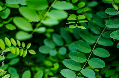 Young Green Leaves Of Acacia Tree Close Up Stock Photo And Royalty