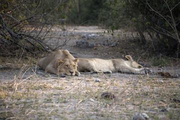 lionesses spleeping in the savannah