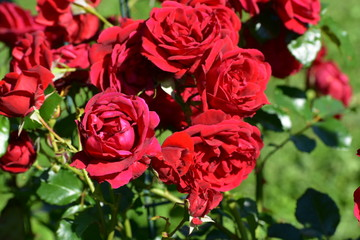 Fragile and fresh red roses