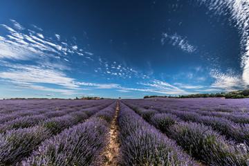 Lavender fields near to Brihuega, Guadalajara. Castilla La Mancha, Spain.