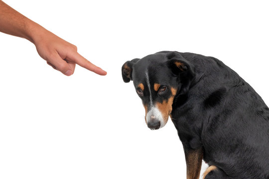 Bad appenzeller dog, pushing by owner with finger pointing at him, isolated on white background