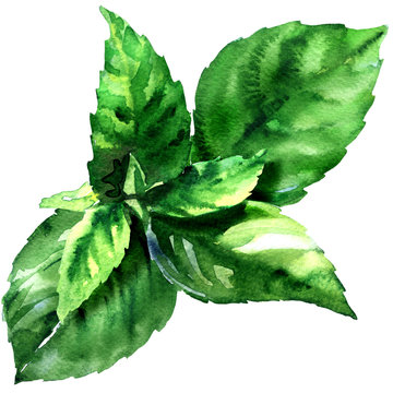 Fresh green basil herb leaves, Ocimum basilicum, spice herb, isolated, close up, hand drawn watercolor illustration on white background