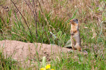 Golden Mantled Ground Squirrel stands by burrow