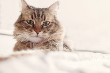 Beautiful tabby cat lying on bed and seriously looking with green eyes in soft morning light. Fluffy Maine coon with funny emotions resting in white stylish room. Cat portrait