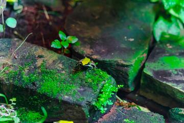 Green Mantella Frog in pond