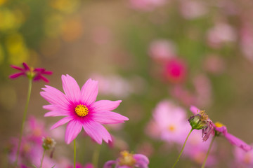 pink cosmos flower in the field and blurred background with selective focus.