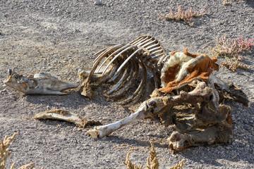 Horse skeleton in the Nevada desert, USA