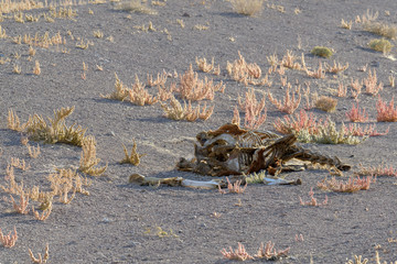 The bones of a horse in the Nevada desert, USA