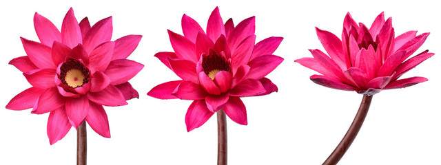 Collection Red Lotus flower isolated on white background