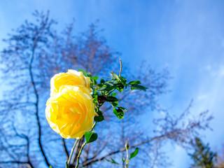 【静岡県伊豆市】公園に咲く黄色のバラ【修善寺虹の郷】