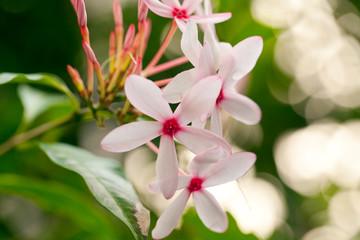 Closeup of white flower spike Rubiaceae Ixora coccinea in the garden