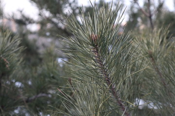 Fir, spruce or pine tree branch. Winter nature.