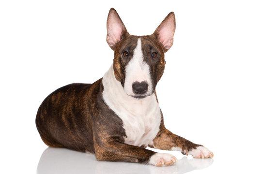 miniature bull terrier dog lying down on white background