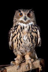 owl nature wild face black look eyes wildlife hunter bird