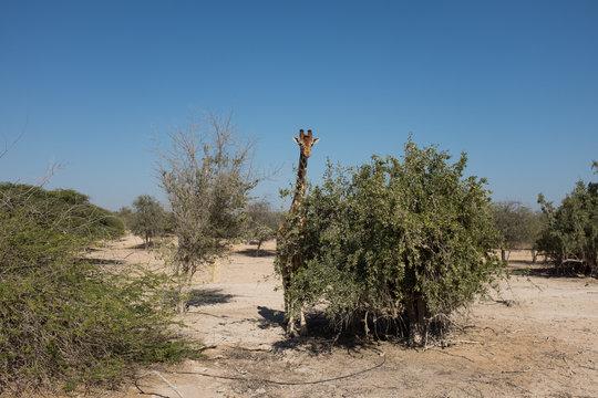 Giraffe on Sir Bani Yas Island, Abu Dhabi, United Arab Emirates