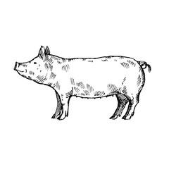 Hand drawn pig. Sketch, vector illustration.
