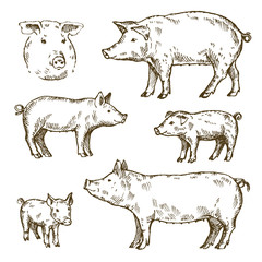 Hand drawn set of pigs. Sketch, vector illustration.