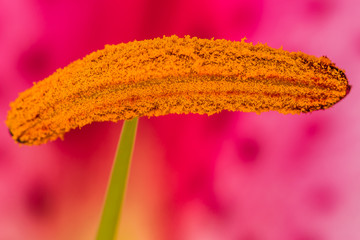 Macro image of the stamen attached to the green filament of the asiatic or oriental lily.