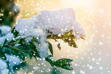 Close-up of bush brunch with small wet green leaves covered with thick snow on bright blurred sunny abstract copy space background. Postcard greeting New Year theme, beauty of nature concept.