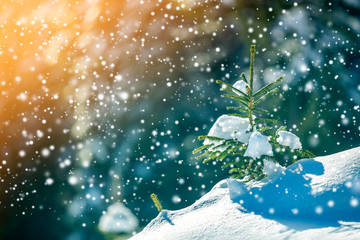 Small pine tree with green needles covered with deep fresh clean snow on blurred blue copy space background. Merry Christmas and Happy New Year greeting postcard.