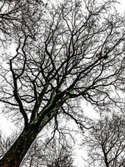 Kahler Baum im Winter